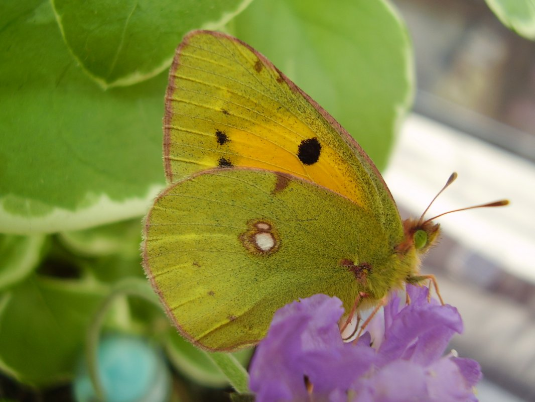 Clouded Yellow © devonbutterflies