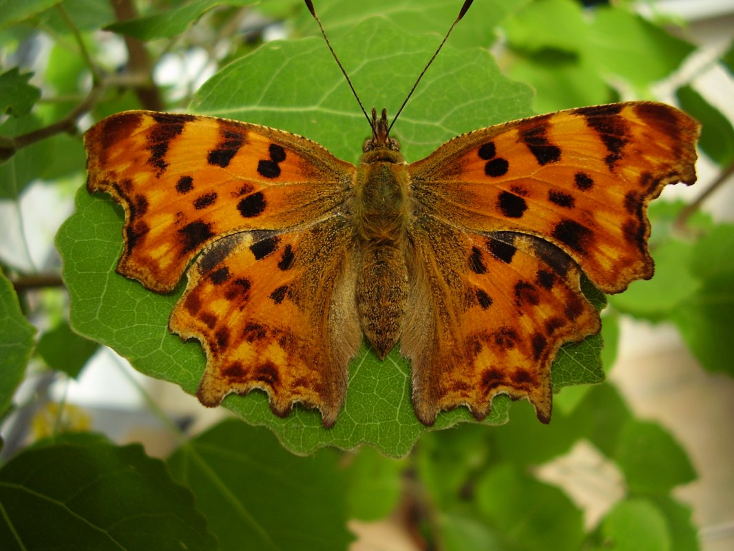 Comma © devonbutterflies