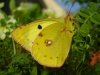 Bergers Clouded Yellow  © devonbuterflies