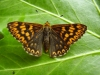 Duke of Burgundy © devonbutterflies