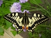 British Swallowtail © devonbutterflies