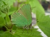 Green Hairstreak © devonbutterflies
