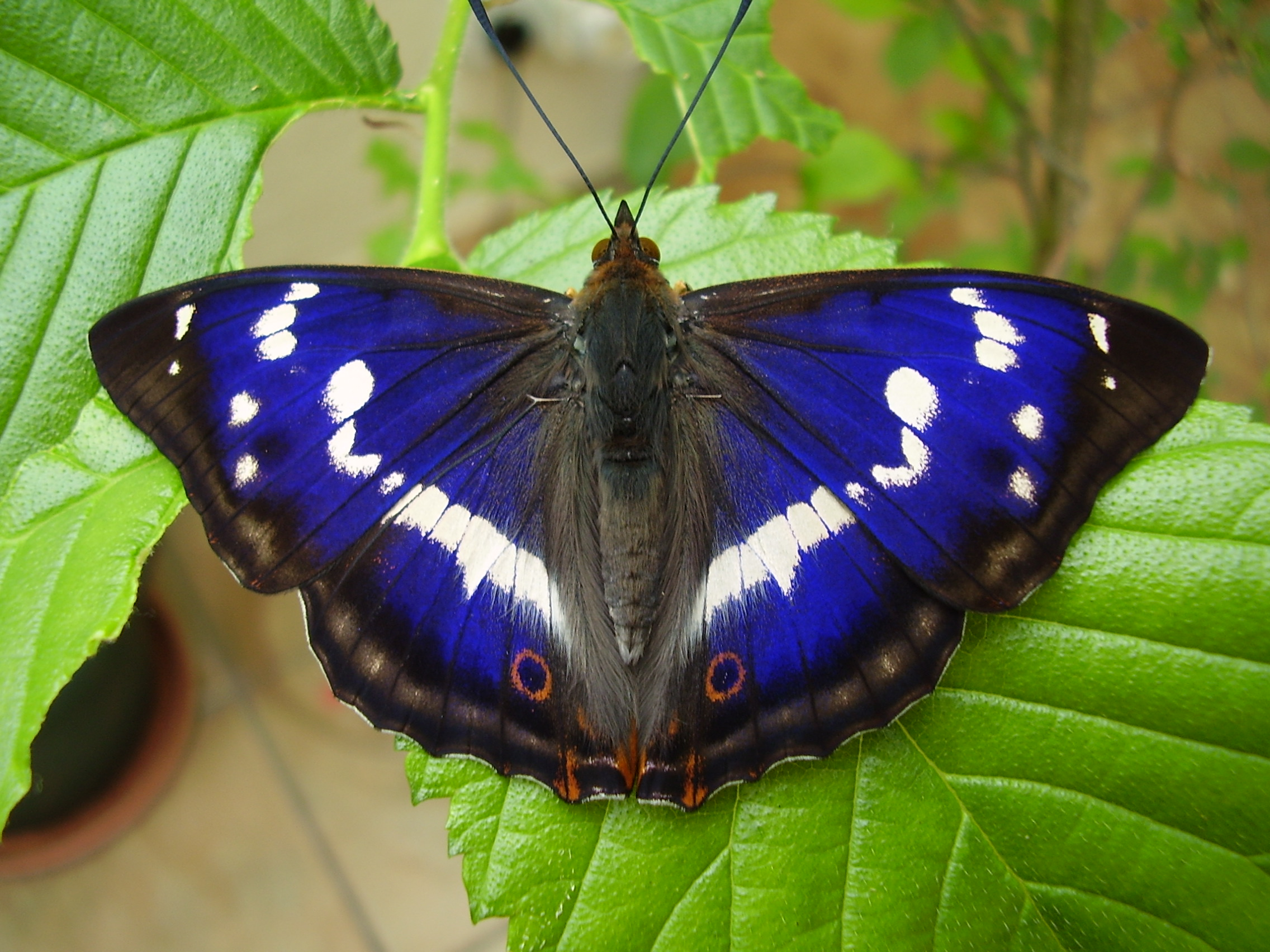 Admiral Indian Red Wallpapers Red Admiral